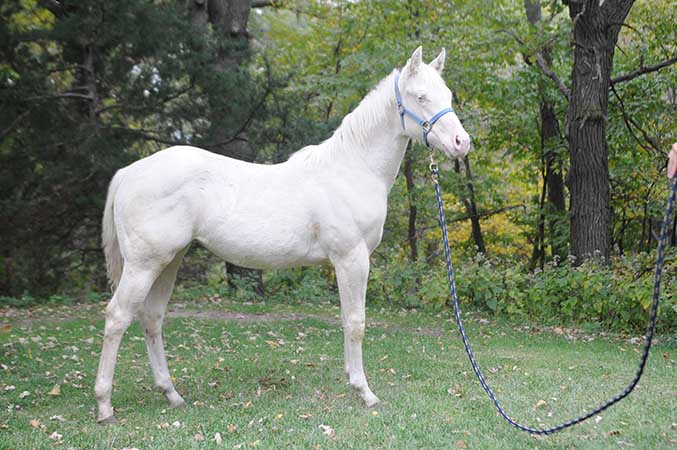 Pauley Performance Horses for Sale